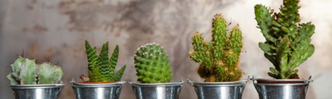 minicactuslistado-jardineria-cactus-809x242x80xX-1