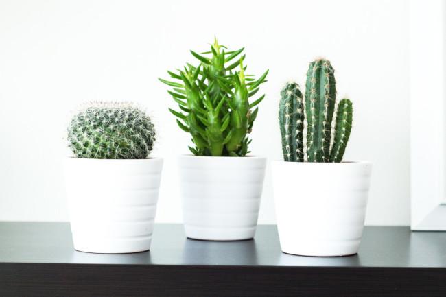 mini-cacti